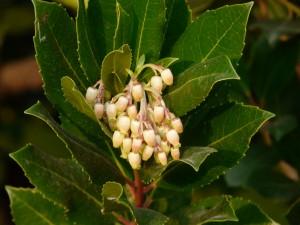 Arbutus unedo fiori