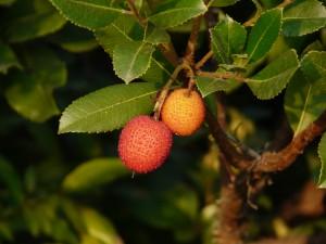 Arbutus unedo frutti