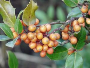 Ilex aquifolium 'Fructu Aurantiaca'
