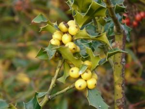 Ilex aquifolium 'Fructu luteo'