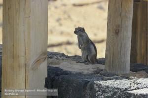 Canarie Barbary Ground Squirrel - Mirador Vega de Rio Palmas