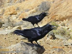 Canarie Corvo imperiale - Mirador vega de Rio Palmas