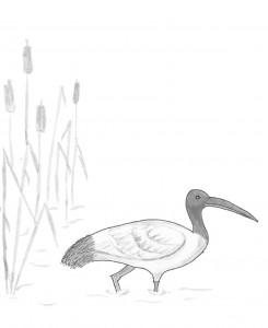 Ibis (M)