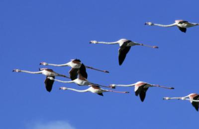 Fenicotteri in volo