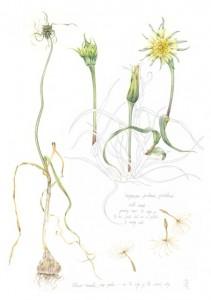 Tragopogon pratensis, Allium vineale
