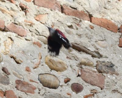 Picchio muraiolo in volo