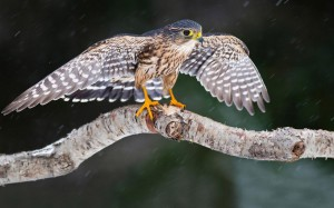 falcon-on-the-branch-24795