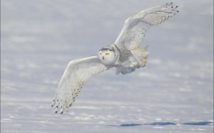 snowy-owl-24796
